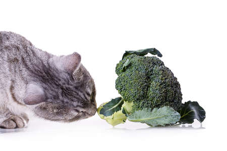 gray cat: gray cat smelling a broccoli