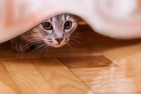 hides: gray cat hides behind a curtain Stock Photo