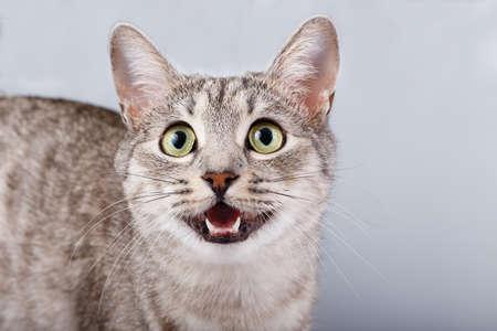 gray tabby: cat meows gray tabby Shorthair