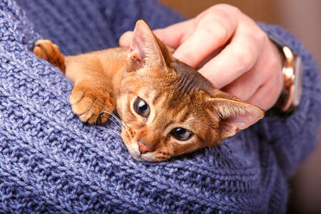 abyssinian cat: Abyssinian cat on the hands