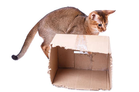 abyssinian cat: Abyssinian cat Isolated on white background