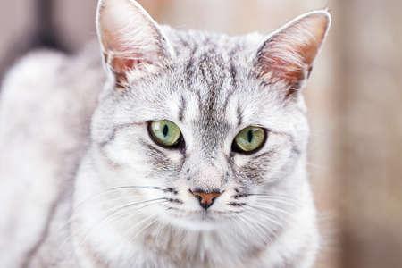 gray tabby: gray tabby cat close-up portrait