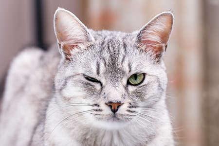 gray tabby: gray tabby cat winks close-up portrait
