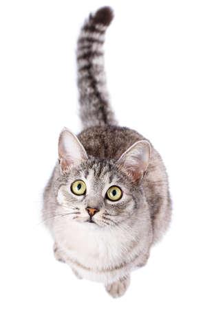 gray tabby: gray tabby cat American Shorthair Stock Photo