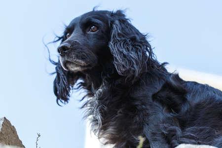 black bitch: black spaniel dog animal portrait Stock Photo