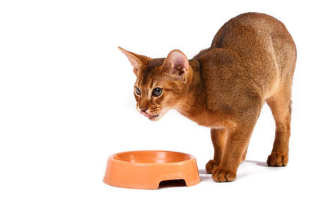 abyssinian cat: Abyssinian cat food Isolated on white background