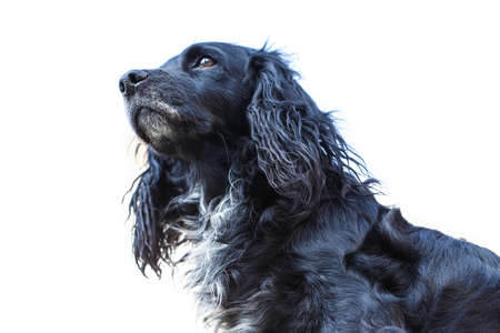 black spaniel dog Stock Photo