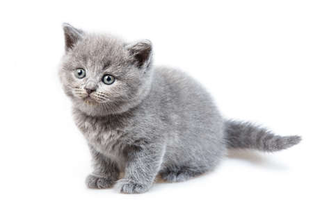 lop eared: British lop-eared kitten Isolated on white background