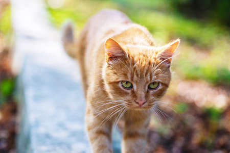 park path: red cat on park path Stock Photo
