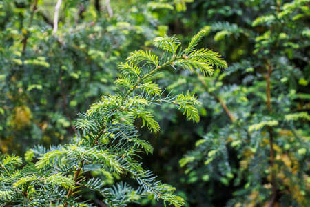 scots pine: firtree outside the park green background Stock Photo