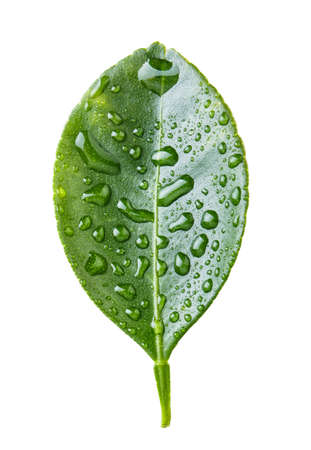 lemon leaf isolated on white background
