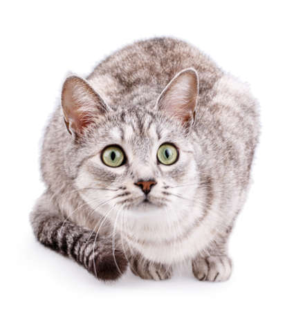 gray tabby: gray tabby cat isolated on white background