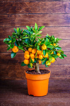mandarine: mandarine tree on a wooden background Stock Photo