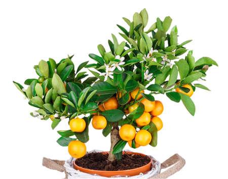 mandarine: mandarine tree isolated on white background