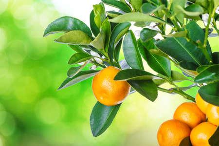 mandarine tree isolated on white background