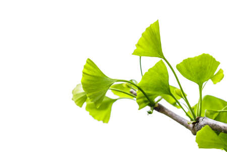 Ginkgo biloba isolated on white background Stock Photo