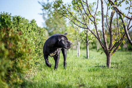 South African Mastiff Boerboel outside