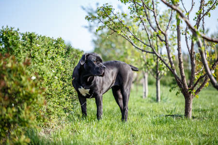 South African Mastiff Boerboel outside