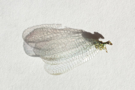 chrysoperla: Graceful dead insect on white background whit shadow. Chrysoperla carnea Stock Photo