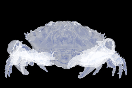 X-ray dark-finger coral crab isolated. 3d render Stock Photo