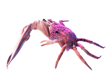 fiddler: Fiddler crab isolated on white.