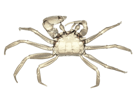 X-ray ghost crab isolated. 3d render. Stock Photo