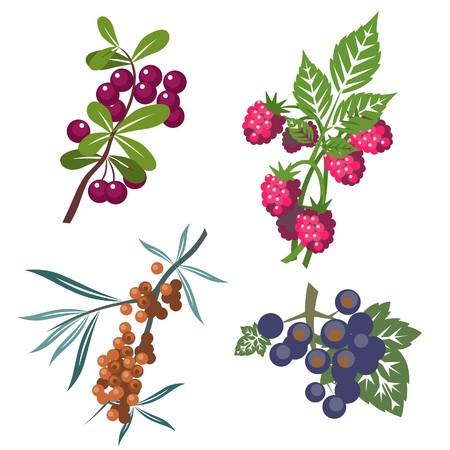blueberries: Berrys set in color   Illustration