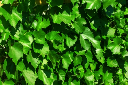Green vine leaves vine-prop  photo