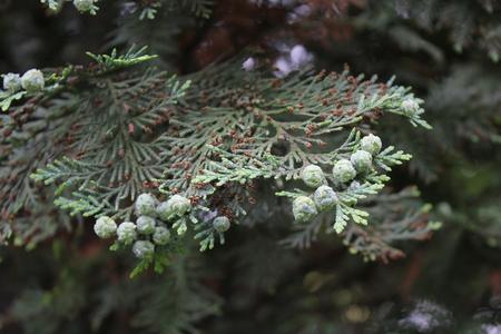 cicuta: Western Hemlock rama de �rbol verde 7879