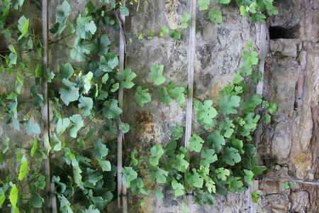 meterial: Green ivy and stone wall in garden 7868