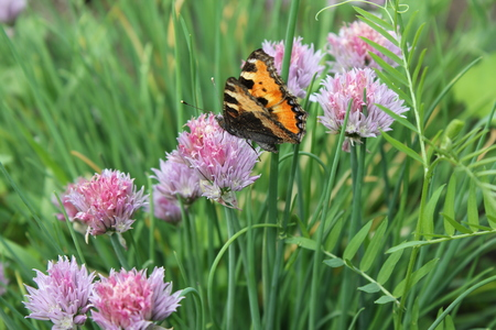pieris: Flowering chives and butterfly in the garden 19928