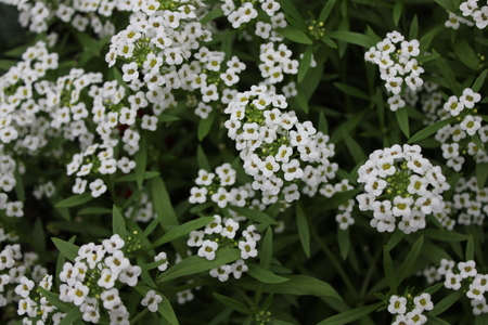 alison: Background of white alissum flowers 20404
