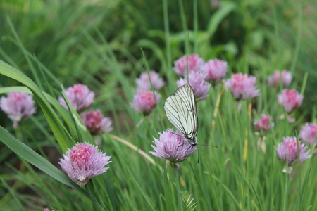 Flowering chives and batterfly in the garden 19922