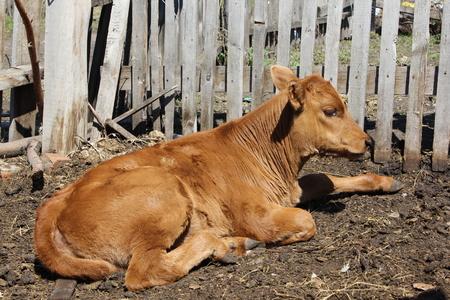 Calf basking in the sun 19651