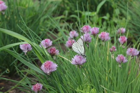 globular: Flowering chives and batterfly in the garden 19921