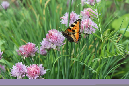 Flowering chives and butterfly in the garden 19926 Stock Photo