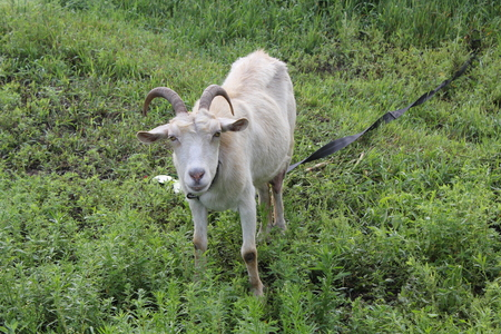 Tethered goat grazing in the summer meadow 20193
