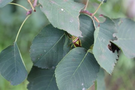 Green bedbugs on a green leaf with natural background 20495