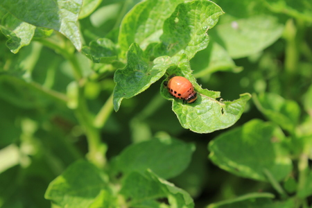 Colorado potato beetle on green leaves, macro 8195 Stock Photo