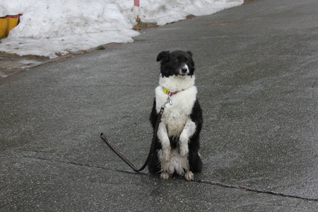 Black and white dog sitting on its hind legs on the asphalt