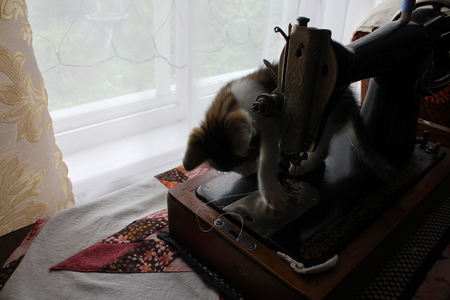 gray cat: Cute gray kitten cat play with a sewing machine