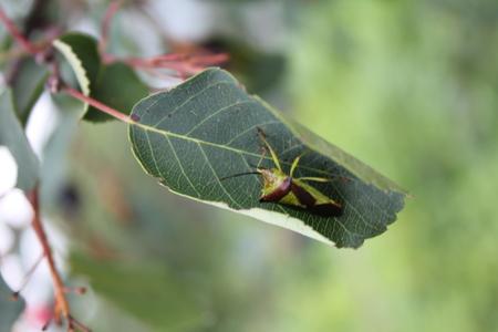 Green bedbug on a green leaf with natural background 20484