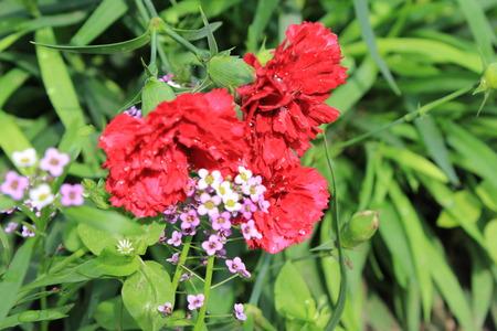 rendered: Pink flowers of carnation, or clove pink, Dianthus caryophyllus 20569