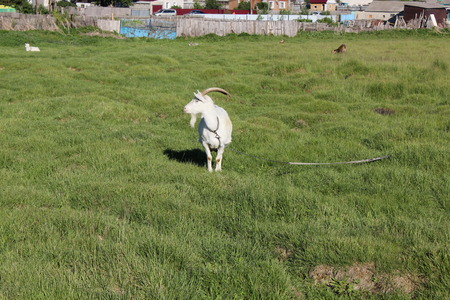 Tethered goat grazing in the summer meadow