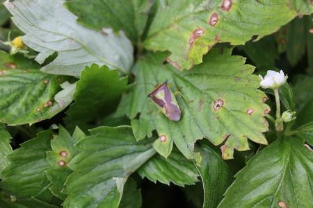 Green bedbug on a green leaf with natural background
