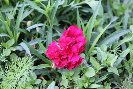 A flower of scarlet carnation in a summer garden Stock Photo