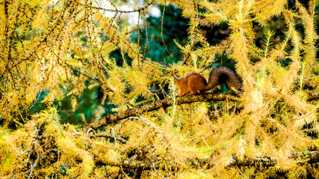 red eurasian squirrel sits on a spruce branch in the autumn forest and eats. squirrel is looking for food in the autumn forest.  Yellow maple foliage on a forest background. Outdoor. Copy space