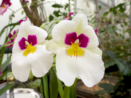 Beautyful flower - Orchids or Miltonopsis, miltonia lindl. on the green background for desktop, wallpaper, postcard. Copy space for design and text.  Decorative plants for gardening and greenhouse.