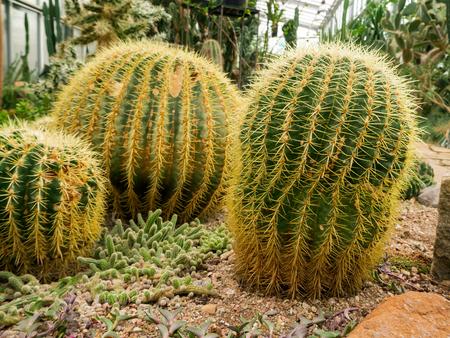big Echinopsis subdenudata cactus plant. saguaro cactus, also known as cardon grande cactus, echinopsis hedgehog. background for desktop, wallpaper, postcard. Copy space for design or text. Stock Photo