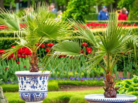Multi-Colored Valentines Tulips on the green background in Lower Park of Peterhof  and pots with palm trees for desktop, wallpaper, banner. Natural landscape with copy space, text box.